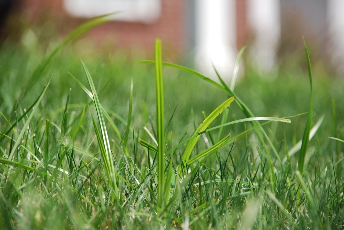 Nutsedge in lawn grass
