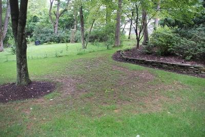 Brown grass in lawn below tree