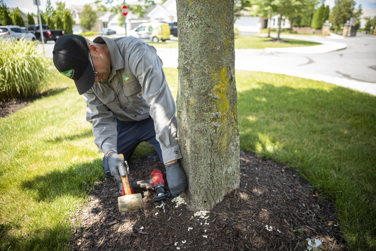 Certified Arborist injecting a tree