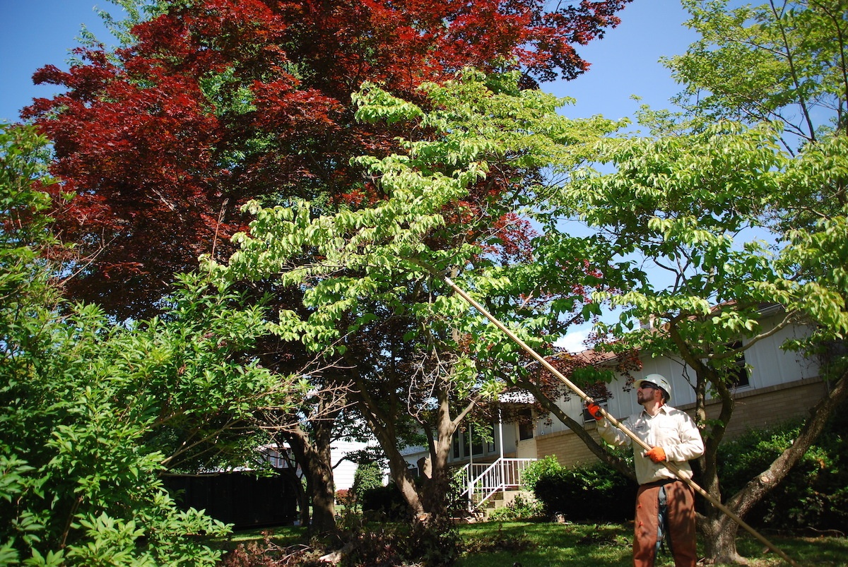 Tree pruning crew using a pole saw to prune
