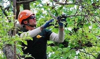 tree care crew pruning a limbs
