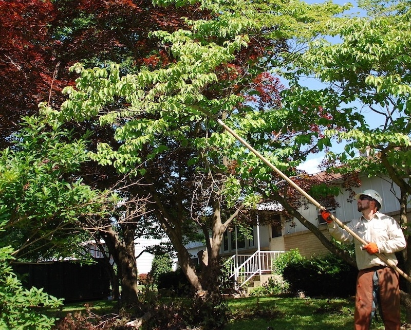 Arborist pruning shade tree