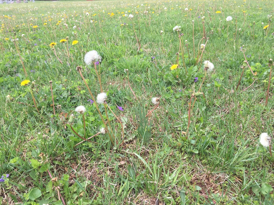 lawn filled with weeds needing weed control