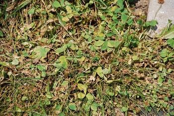 lawn that needs weed control