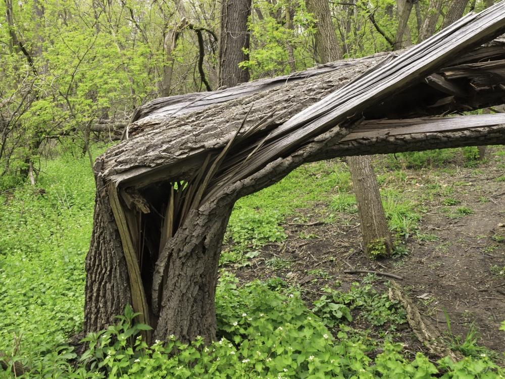 Broken tree from storm damage