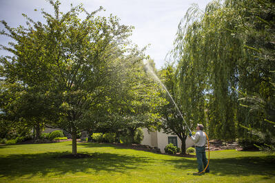 Certified arborist spraying tree