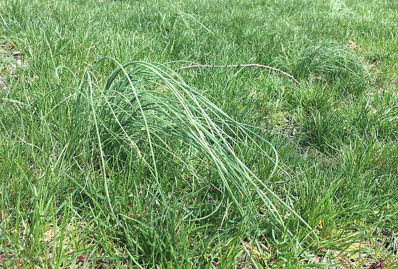 Wild garlic and onion and what weed control to use in Allentown, PA
