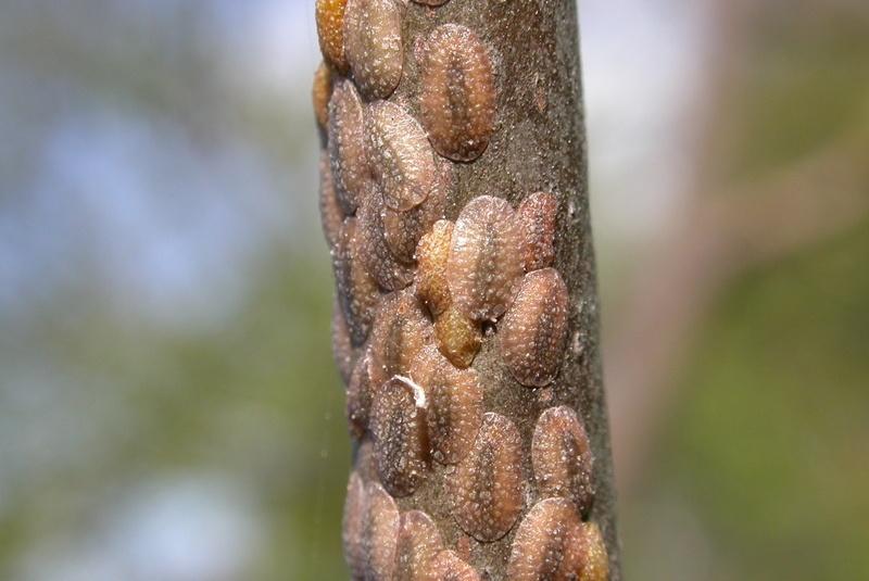 Magnolia Scale on tree