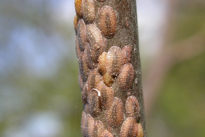 Scale on Trees and Shrubs: Damaging Insects Plaguing Allentown, Bethlehem, and Easton, PA