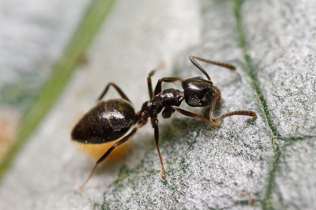 How to Get Rid of Ants: Tips for Homeowners in Allentown, Bethlehem, & Easton, PA