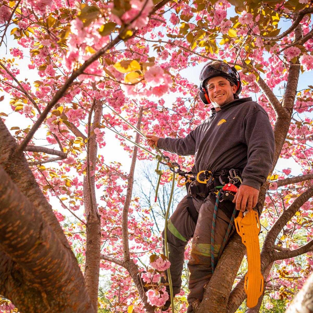 Arborist Tree climber flowering tree pruning 9